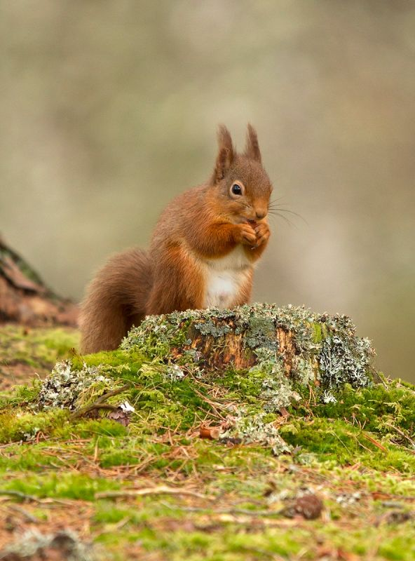 Male Red Squirrel